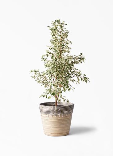 観葉植物 フィカス ベンジャミン 8号 スターライト アルマ コニック 白 付き