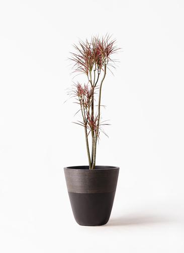 観葉植物 ドラセナ コンシンネ レインボー 8号 ストレート ジュピター 黒 付き