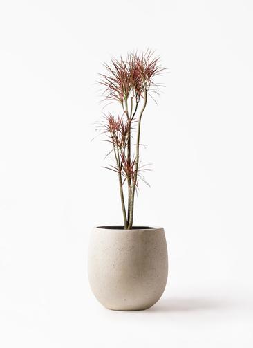 観葉植物 ドラセナ コンシンネ レインボー 8号 ストレート テラニアス バルーン アンティークホワイト 付き