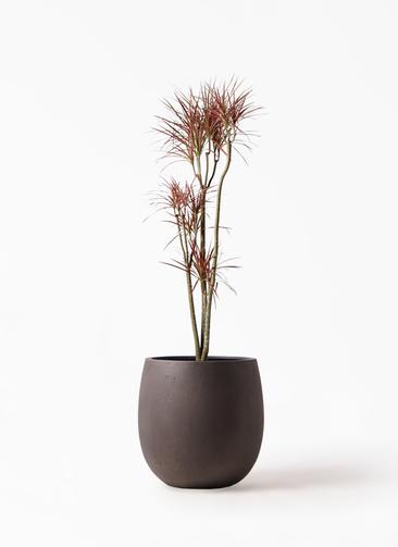 観葉植物 ドラセナ コンシンネ レインボー 8号 ストレート テラニアス バルーン アンティークブラウン 付き