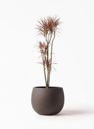 観葉植物 ドラセナ コンシンネ レインボー 8号 ストレート テラニアス ローバルーン アンティークブラウン 付き