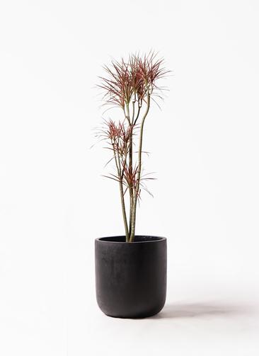 観葉植物 ドラセナ コンシンネ レインボー 8号 ストレート エルバ 黒 付き