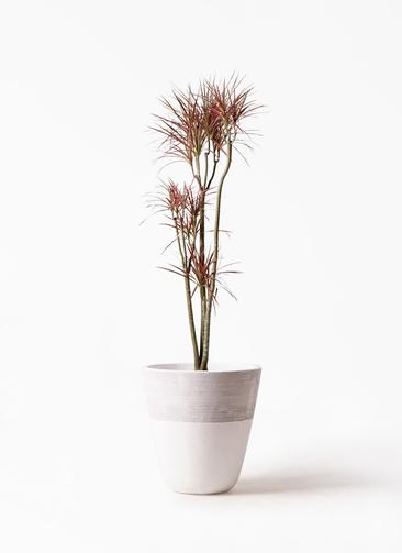 観葉植物 ドラセナ コンシンネ レインボー 8号 ストレート ジュピター 白 付き