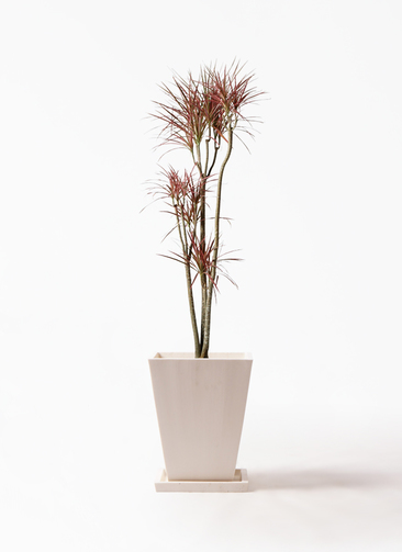 観葉植物 ドラセナ コンシンネ レインボー 8号 ストレート パウダーストーン 白 付き