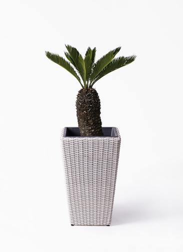 観葉植物 ソテツ 8号 ウィッカーポット スクエアロング OT 白 付き