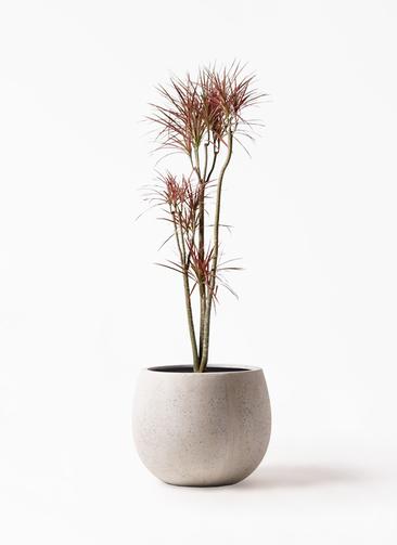 観葉植物 ドラセナ コンシンネ レインボー 8号 ストレート テラニアス ローバルーン アンティークホワイト 付き
