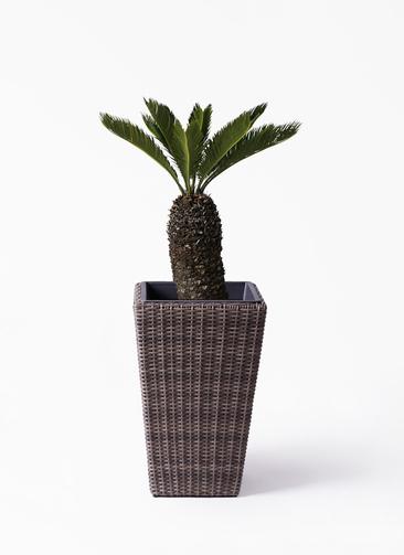 観葉植物 ソテツ 8号 ウィッカーポット スクエアロング OT 茶 付き