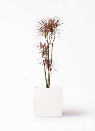 観葉植物 ドラセナ コンシンネ レインボー 8号 ストレート バスク キューブ 付き