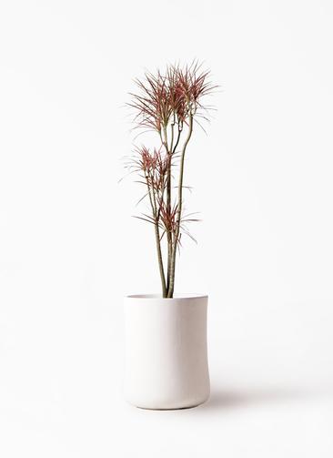 観葉植物 ドラセナ コンシンネ レインボー 8号 ストレート バスク ミドル ホワイト 付き