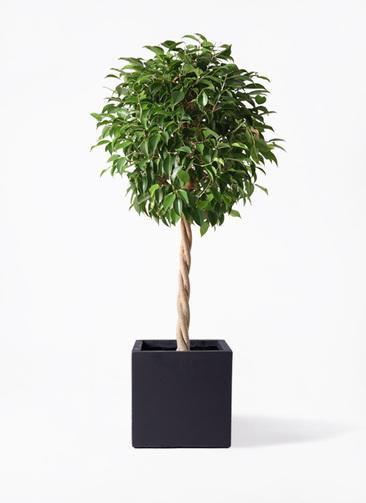 観葉植物 フィカス ベンジャミン 8号 玉造り ベータ キューブプランター 黒 付き