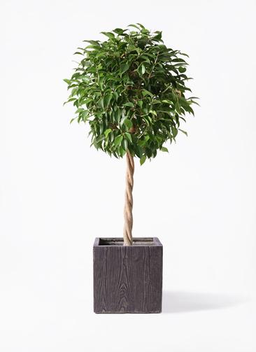 観葉植物 フィカス ベンジャミン 8号 玉造り ベータ キューブプランター ウッド 茶 付き
