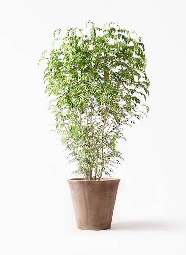 観葉植物 シマトネリコ 10号 ルーガ アンティコ ソリッド 付き