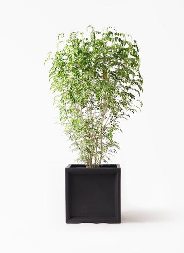 観葉植物 シマトネリコ 10号 ブリティッシュキューブ 付き