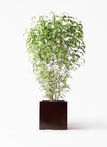 観葉植物 シマトネリコ 10号 MOKU キューブ 付き