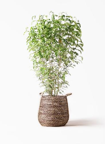 観葉植物 シマトネリコ 10号 リゲル 茶 付き