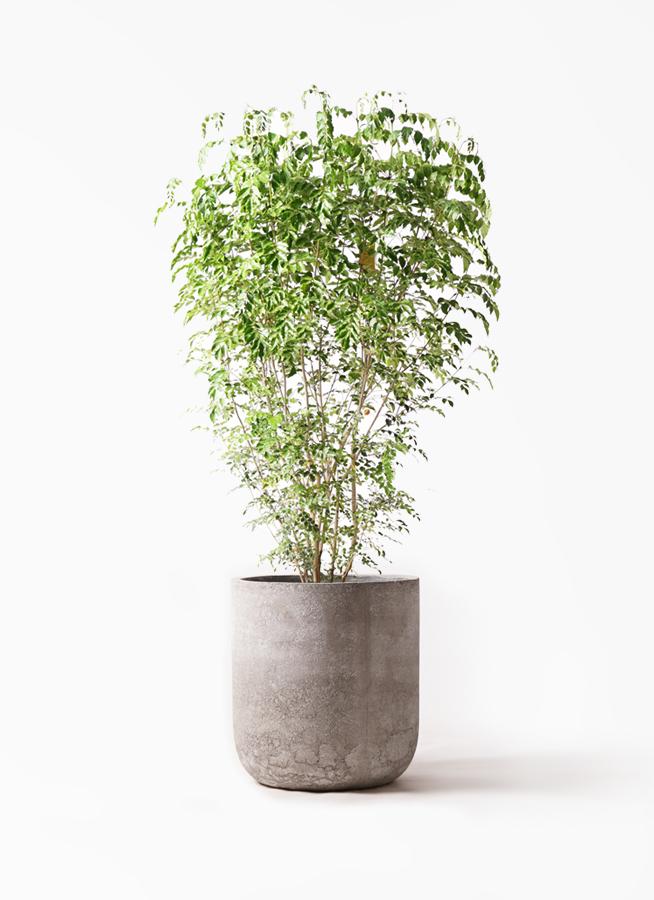 観葉植物 シマトネリコ 10号 エルバ 白 付き