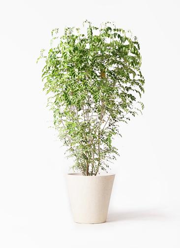 観葉植物 シマトネリコ 10号 フォリオソリッド クリーム 付き