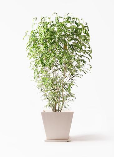観葉植物 シマトネリコ 10号 パウダーストーン 白 付き