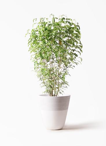 観葉植物 シマトネリコ 10号 ジュピター 白 付き