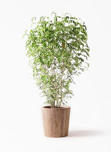 観葉植物 シマトネリコ 10号 ウッドプランター 付き