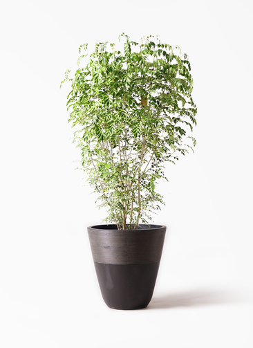 観葉植物 シマトネリコ 10号 ジュピター 黒 付き
