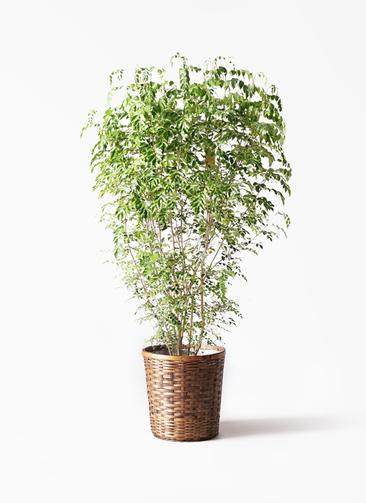 観葉植物 シマトネリコ 10号 竹バスケット 付き