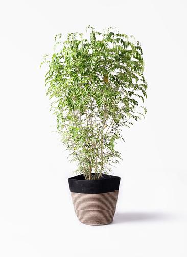観葉植物 シマトネリコ 10号 リブバスケットNatural and Black 付き
