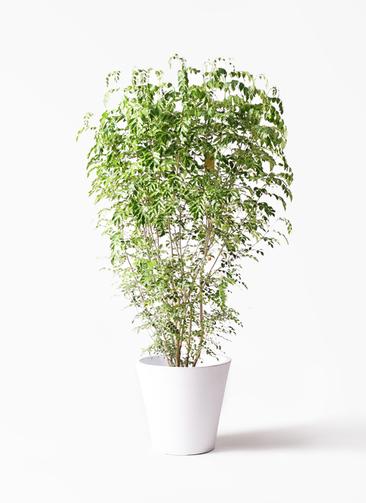 観葉植物 シマトネリコ 10号 フォリオソリッド 白 付き