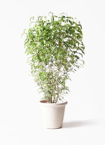 観葉植物 シマトネリコ 10号 ビアスリムス 白 付き
