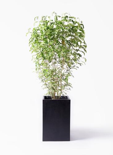 観葉植物 シマトネリコ 10号 セドナロング 墨 付き