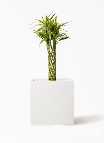 観葉植物 ドラセナ ミリオンバンブー(幸運の竹) 7号 バスク キューブ 付き