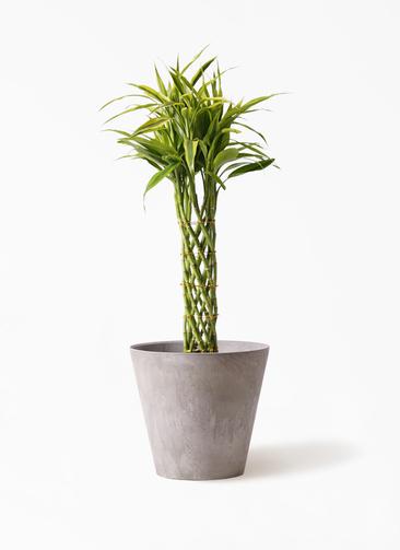 観葉植物 ドラセナ ミリオンバンブー(幸運の竹) 7号 アートストーン ラウンド グレー 付き