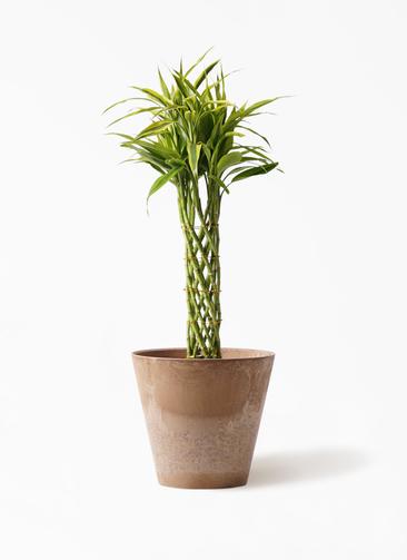 観葉植物 ドラセナ ミリオンバンブー(幸運の竹) 7号 アートストーン ラウンド ベージュ 付き