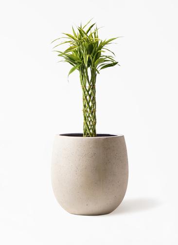 観葉植物 ドラセナ ミリオンバンブー(幸運の竹) 7号 テラニアス バルーン アンティークホワイト 付き