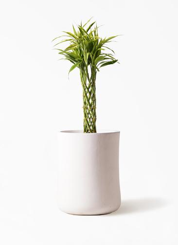 観葉植物 ドラセナ ミリオンバンブー(幸運の竹) 7号 バスク ミドル ホワイト 付き