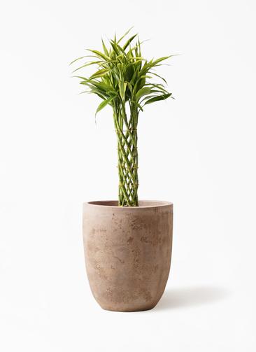 観葉植物 ドラセナ ミリオンバンブー(幸運の竹) 7号 ルーガ アンティコ アルトエッグ 付き