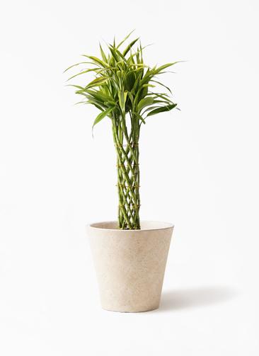 観葉植物 ドラセナ ミリオンバンブー(幸運の竹) 7号 フォリオソリッド クリーム 付き