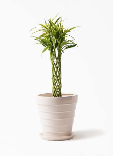 観葉植物 ドラセナ ミリオンバンブー(幸運の竹) 7号 サバトリア 白 付き