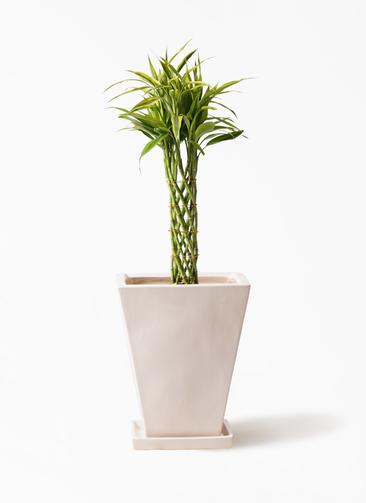 観葉植物 ドラセナ ミリオンバンブー(幸運の竹) 7号 スクエアハット 白 付き