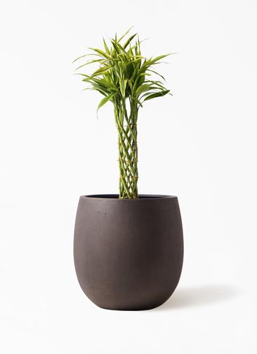 観葉植物 ドラセナ ミリオンバンブー(幸運の竹) 7号 テラニアス バルーン アンティークブラウン 付き