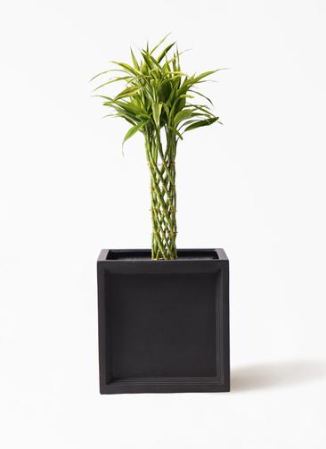 観葉植物 ドラセナ ミリオンバンブー(幸運の竹) 7号 ブリティッシュキューブ 付き