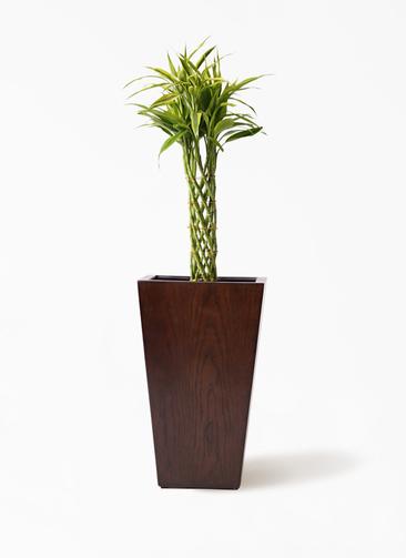 観葉植物 ドラセナ ミリオンバンブー(幸運の竹) 7号 MOKU スクエア 付き