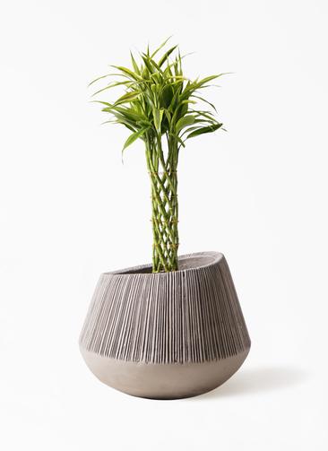 観葉植物 ドラセナ ミリオンバンブー(幸運の竹) 7号 エディラウンド グレイ 付き