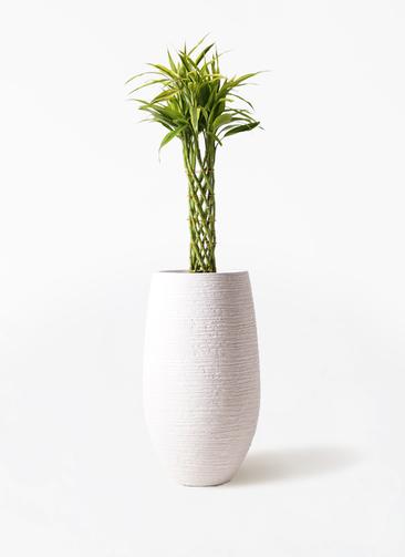 観葉植物 ドラセナ ミリオンバンブー(幸運の竹) 7号 フォンティーヌトール 白 付き