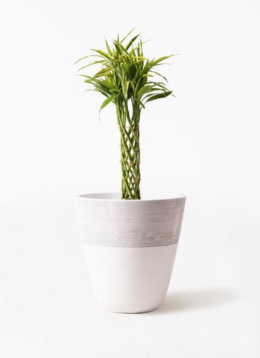 観葉植物 ドラセナ ミリオンバンブー(幸運の竹) 7号 ジュピター 白 付き