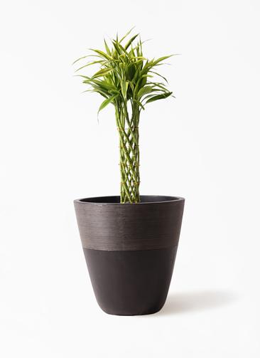 観葉植物 ドラセナ ミリオンバンブー(幸運の竹) 7号 ジュピター 黒 付き