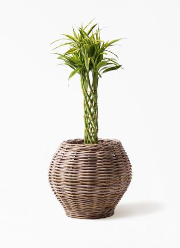 観葉植物 ドラセナ ミリオンバンブー(幸運の竹) 7号 グレイラタン 付き