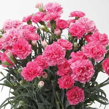 鉢花 カーネーション