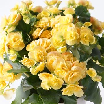鉢花 リーガスベゴニア