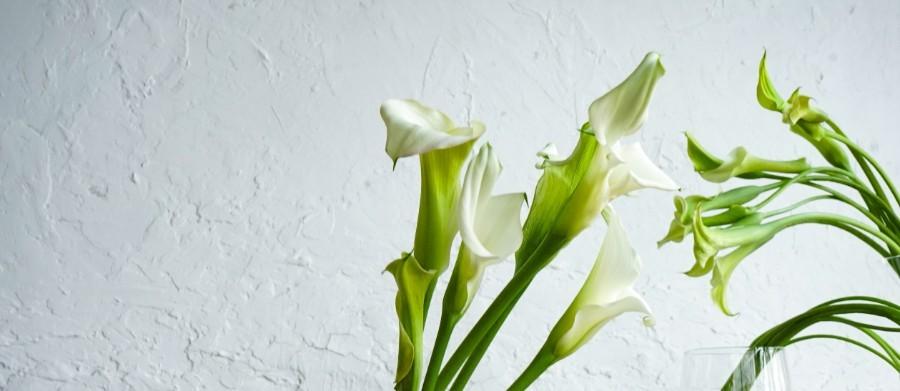 カラー - 国内最大級の胡蝶蘭・観葉植物通販サイト